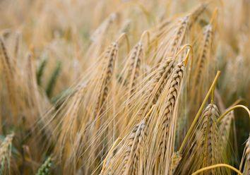 El trigo y El Niño