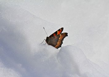 Arriva la neve? Tutto dipende da una farfalla!