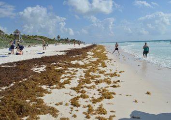 Maré de sargaço invade praias das Caraíbas