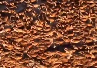 Alarm: Heuschreckenplage errreicht Europa!