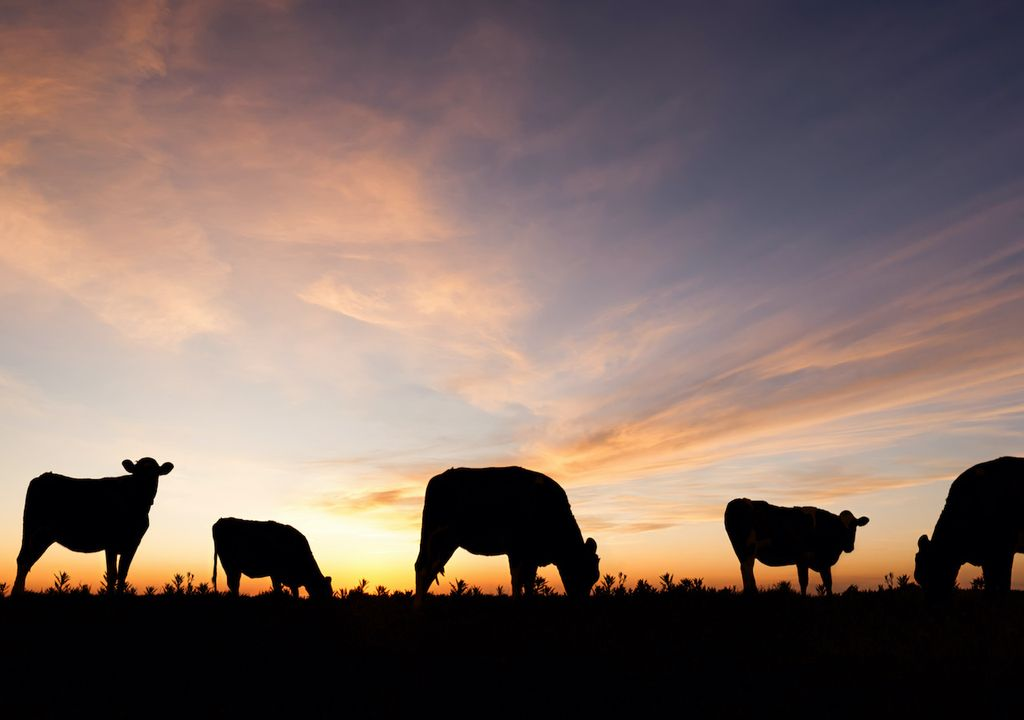 Dairy cattle will face heat stress in the future, according to predictions.