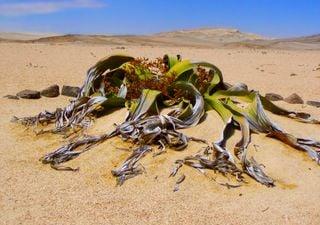Esta planta inmortal puede cambiar el futuro de la agricultura