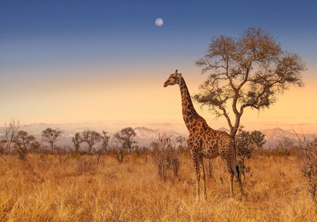 A giraffe in Kruger National Park, an important protected area in South Africa.