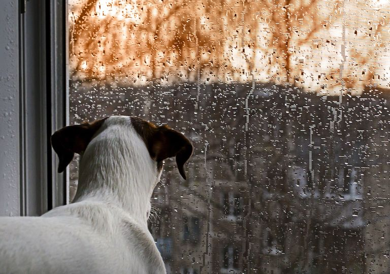 Dog watching rain
