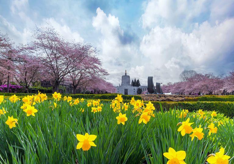 Daffodils and cloud