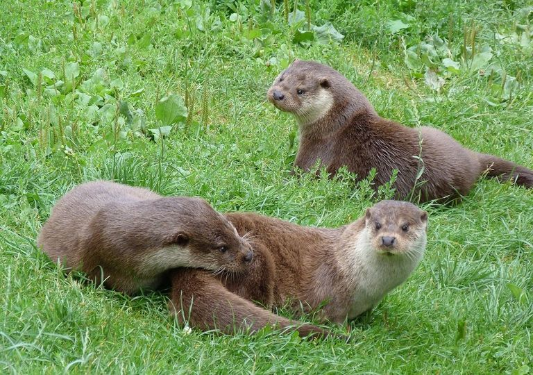 British otters.