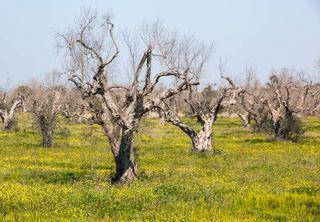 Xylella fastidiosa: aparición de nuevas plantas hospedadoras